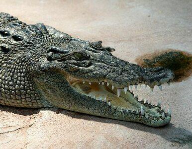 Brytyjczyk znalazł pod łóżkiem... krokodyla