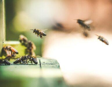 Miejskie pszczoły produkują więcej miodu
