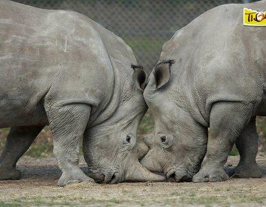 In vitro tylko dla ludzi? Naukowcy chcą tą metodą ratować... nosorożce