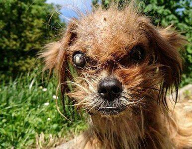 Niezwykła transformacja psa znalezionego na ulicy. Zobaczcie, jak się...