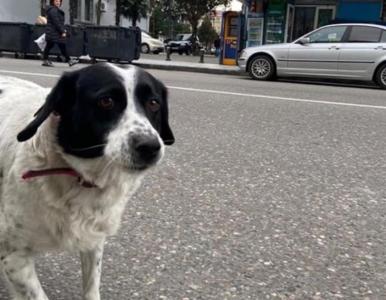 Dzieci go uwielbiają. Pies pomaga im przechodzić przez ulicę