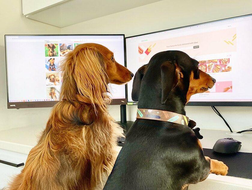Psy potraktowały możliwość pracy z domu na poważnie