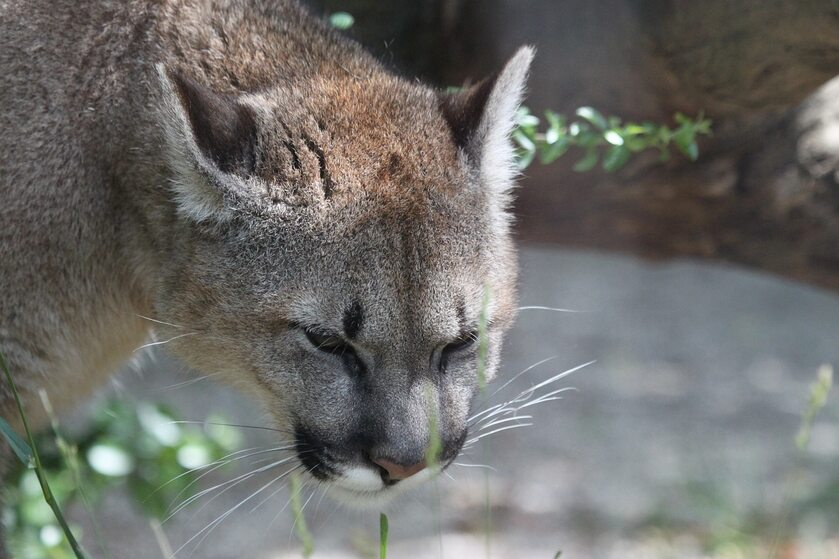 Puma, zdj. ilustracyjne