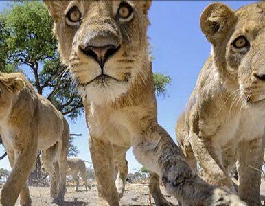 Z łazikiem wśród zwierząt. Niezwykła zdjęcia z Afryki