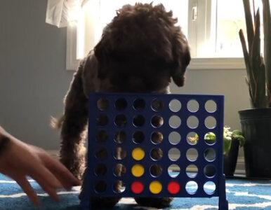"""Pies gra w """"kółko i krzyżyk"""" z właścicielką. Nagranie stało się hitem sieci"""