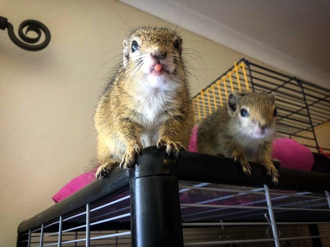 Wiewiórki, którymi opiekuje się Simeone