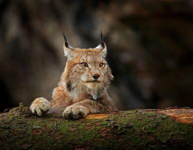 W Polsce zostało zaledwie 150 rysi. Tych siedem gatunków znalazło się w...