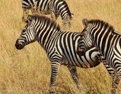 Która zebra stoi z przodu? Nowa iluzja optyczna wywołała mnóstwo spekulacji
