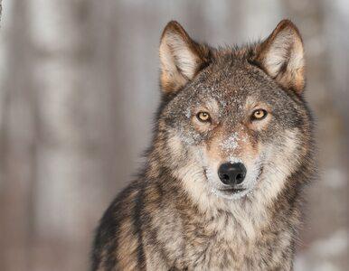 Wataha młodych wilków na drodze. Lasy Państwowe ostrzegają kierowców