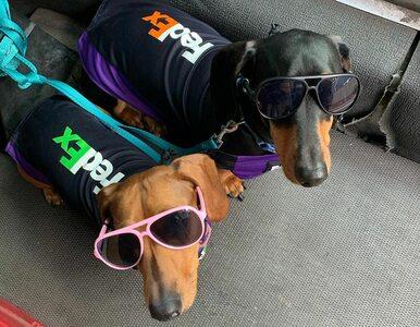 Psy pracujące w firmie kurierskiej? Te mają nawet specjalne ubranka