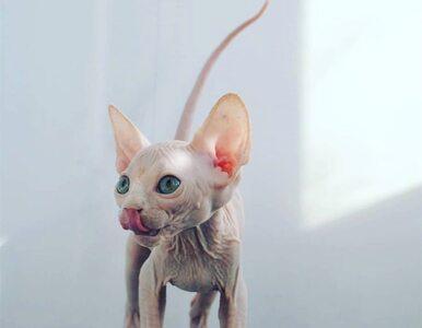 Koty, które niektórzy uważają za obrzydliwe. Pokazujemy je z innej strony