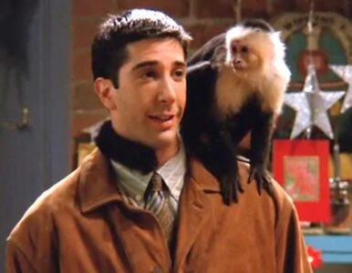 """Pamiętacie małpę o imieniu Marcel z """"Przyjaciół""""? Zagra w nowym serialu"""
