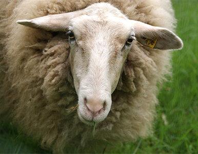 Hodowcy owiec też chcą publicznych pieniędzy