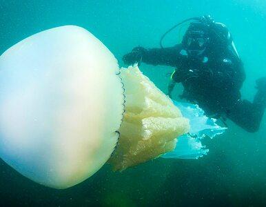 Gigantyczna meduza znów się pojawiła. Tym razem udało się ją sfotografować