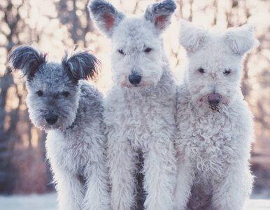 Sterczące uszy i puszyste ogony. Psy rasy pumi bawią swoim wyglądem