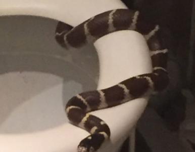 Mieszkanka Oławy znalazła w toalecie… węża. Policja szuka jego właściciela