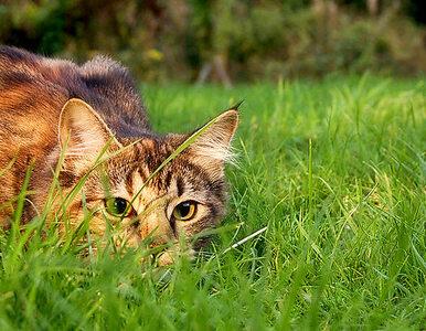 """Naukowcy odkryli """"koto-lisa"""". Przez lata myślano, że jest tylko legendą"""